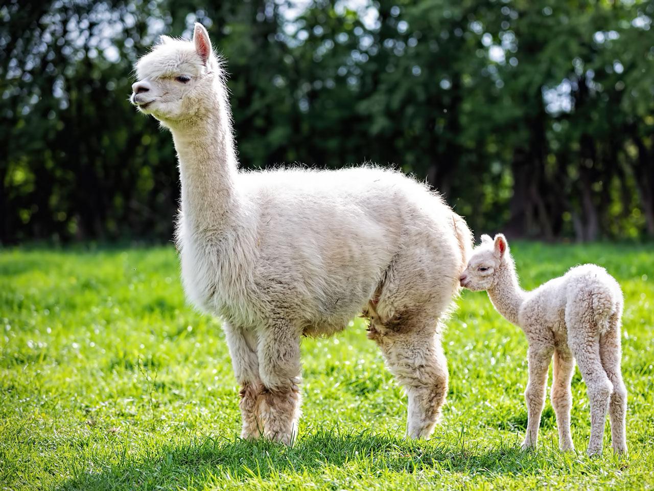 Alpaka Mutter mit Jungtier
