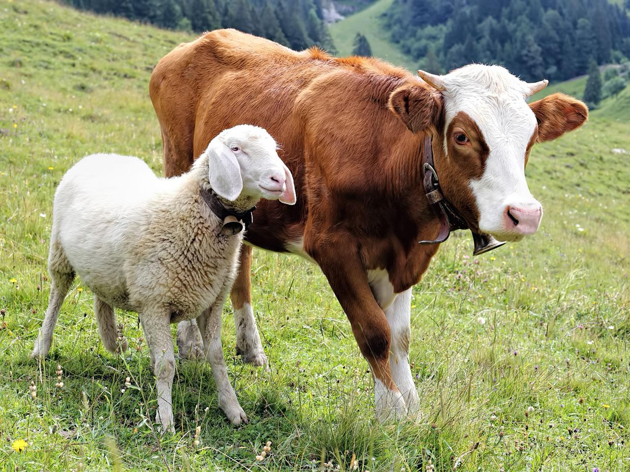 Schaf und Kuh auf Weide