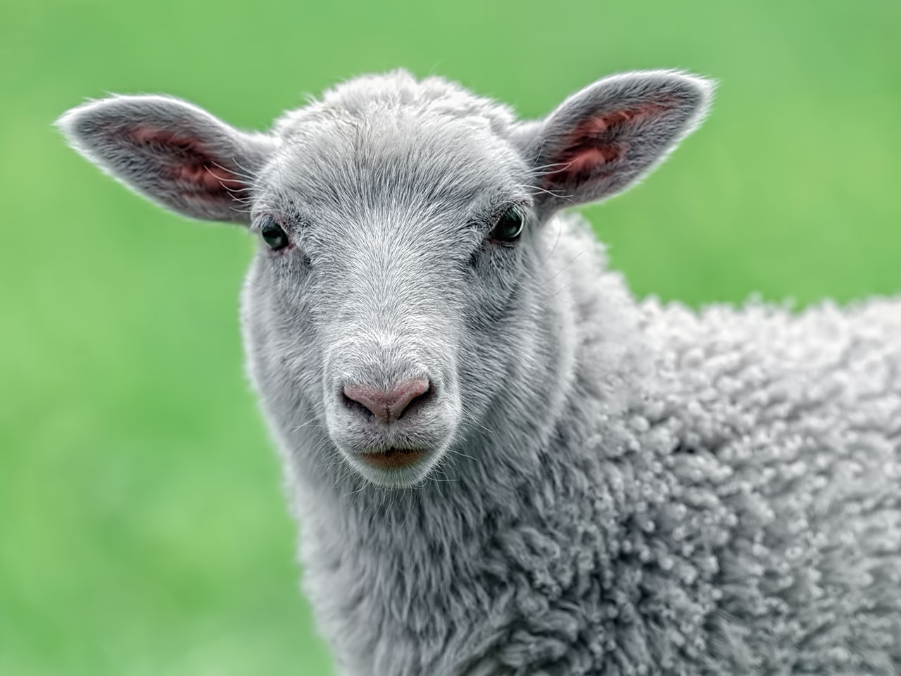 Schaf mit Lämmchen