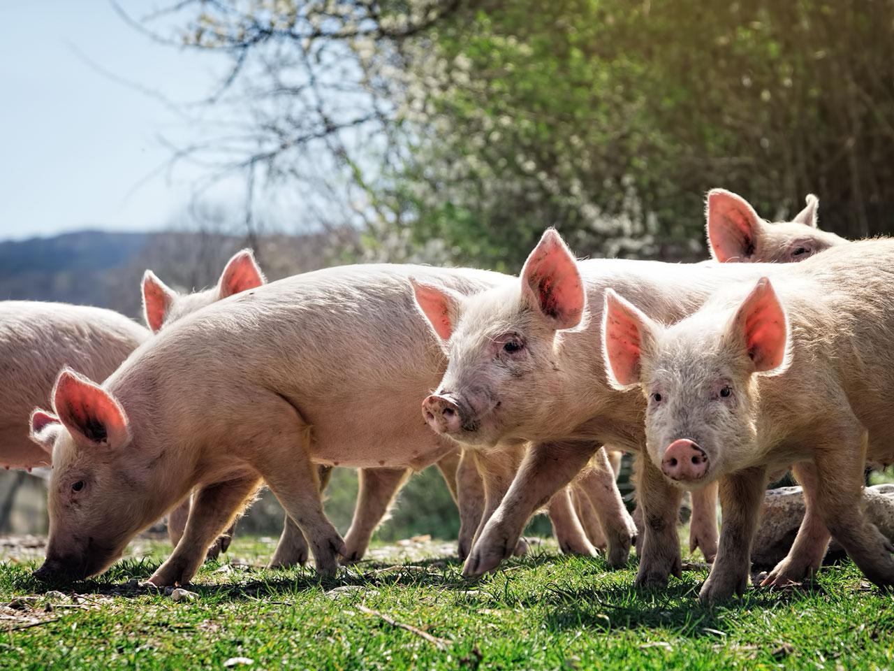 Schweine auf der grünen Weide