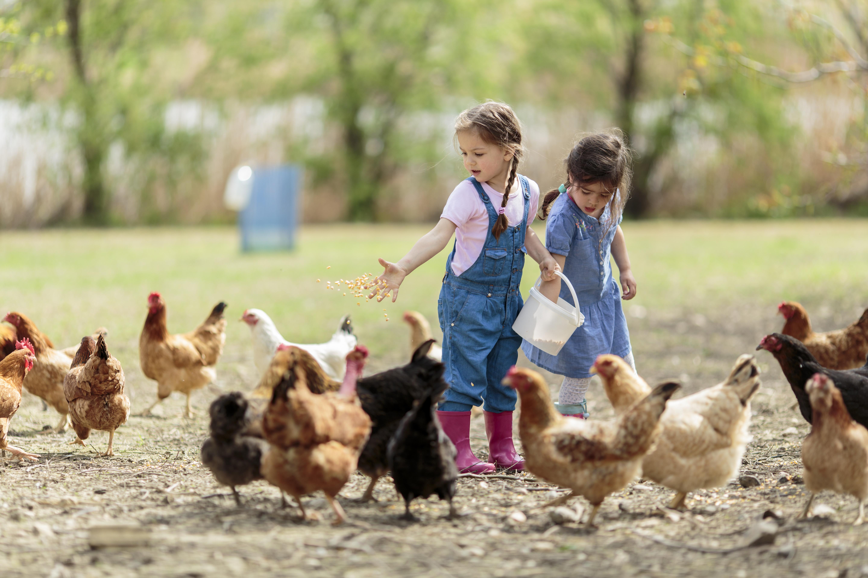 Bauernhofurlaub: Kinder füttern die Hühner