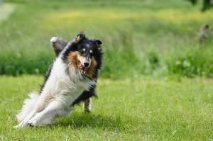 Hund beim Laufen