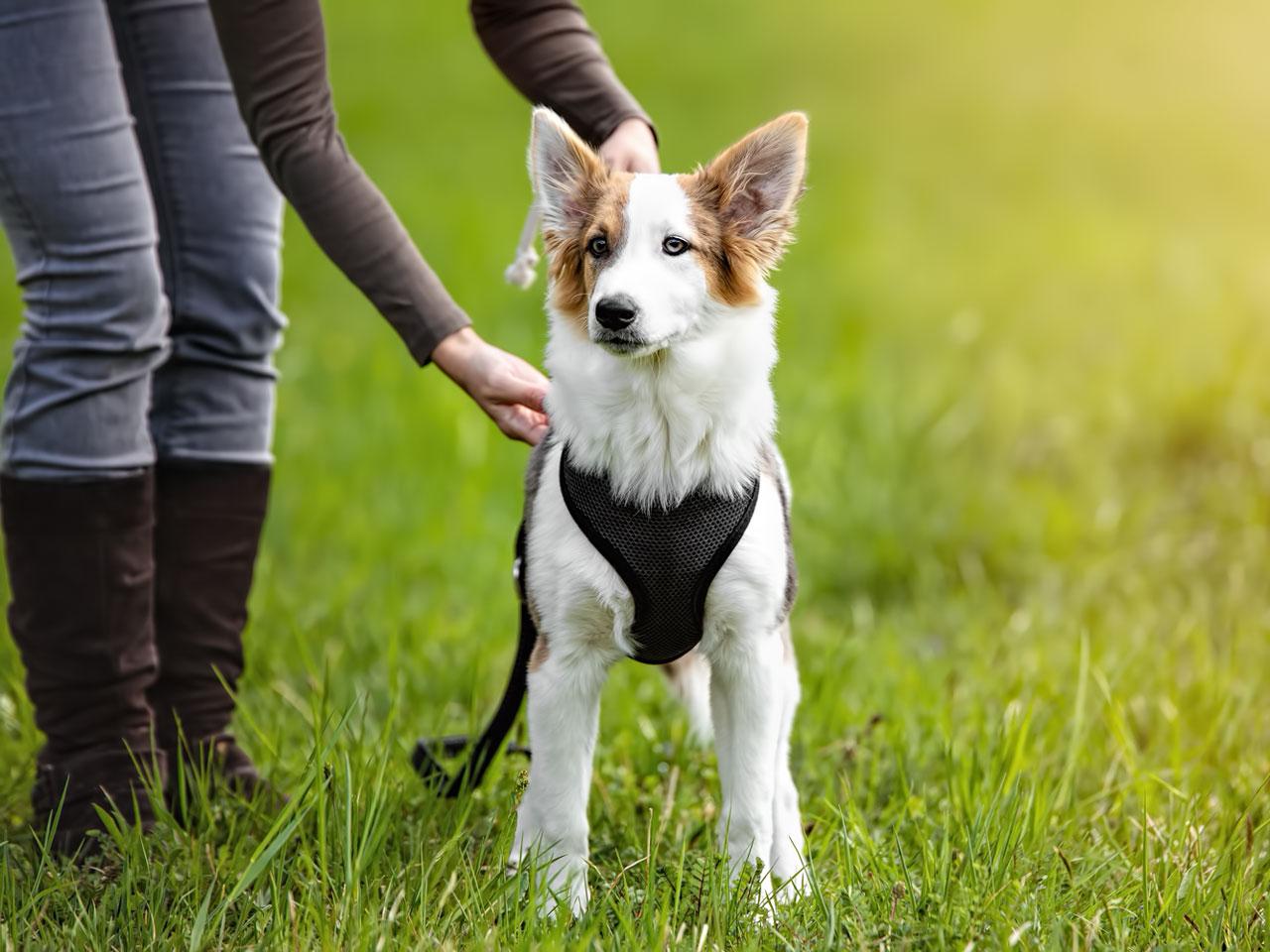 Hund wird Brustgeschirr angelegt