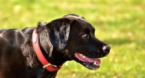 Hund mit Lederhalsband