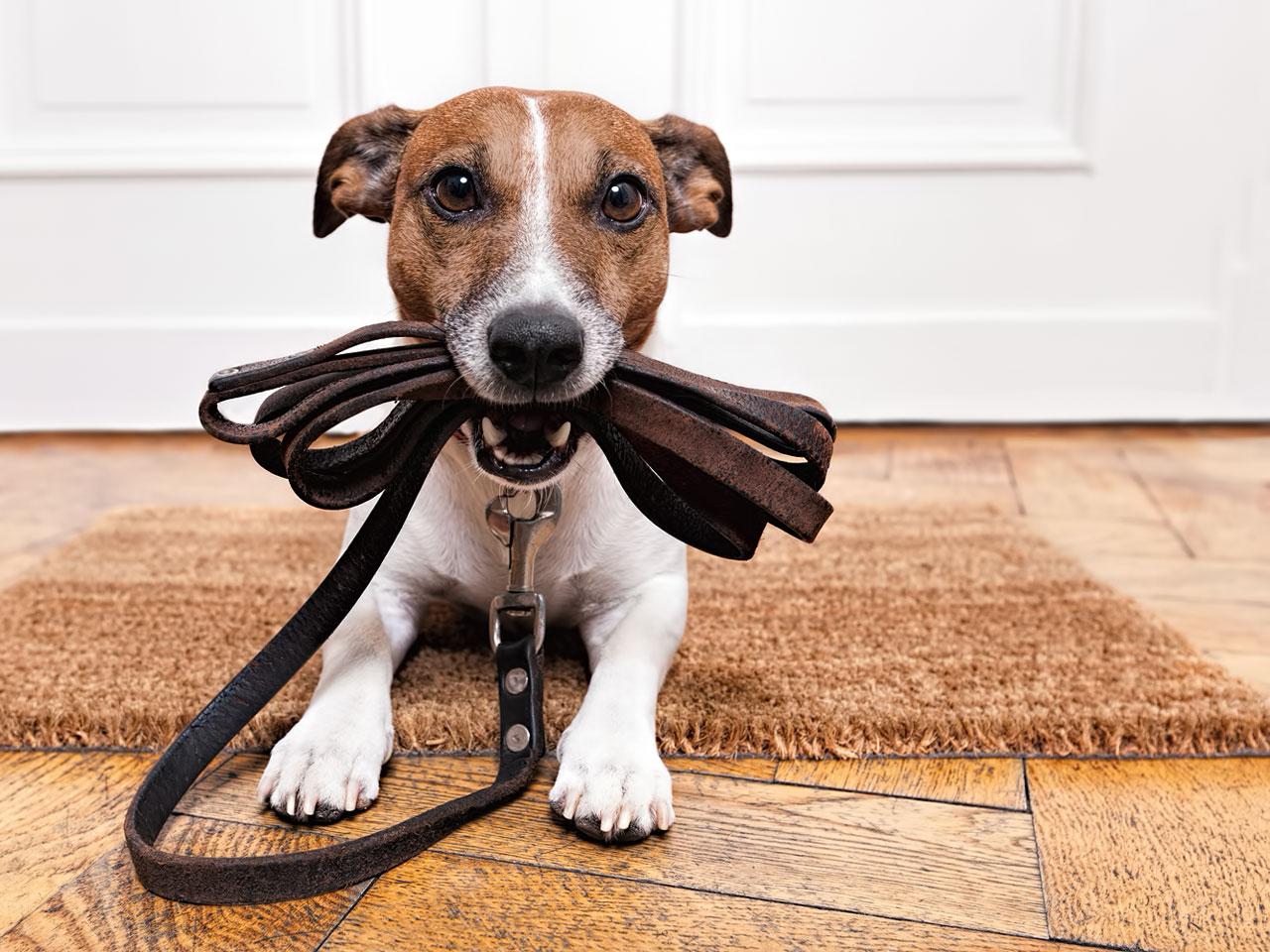 Jack Russell Terrier mit Hundeleine im Maul