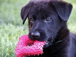 Hund mit Gummispielzeug