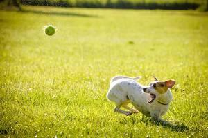 Hund spielt mit Ball