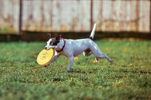 Hund spielt mit Frisbee