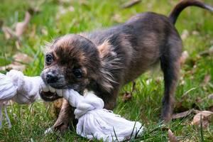 Hund spielt mit Tau