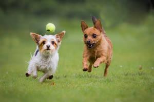 Hunde jagen Tennisball