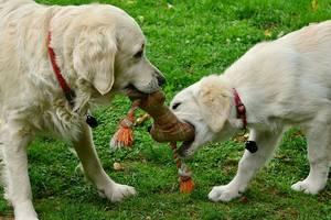 Hunde spielen mit Knochen