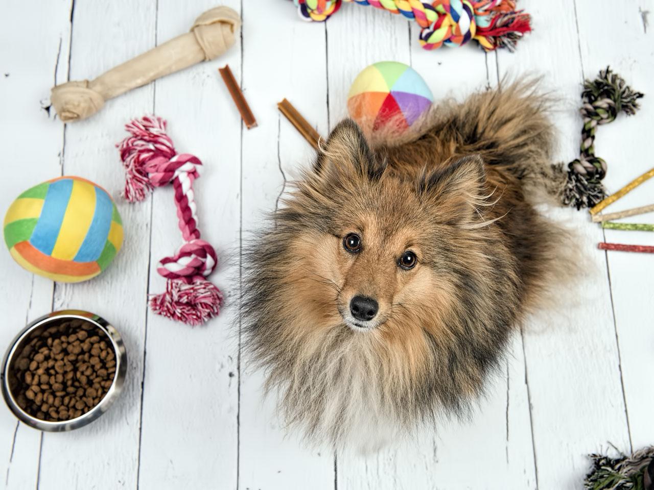 Shetland Sheepdog von Hundespielzeug umgeben