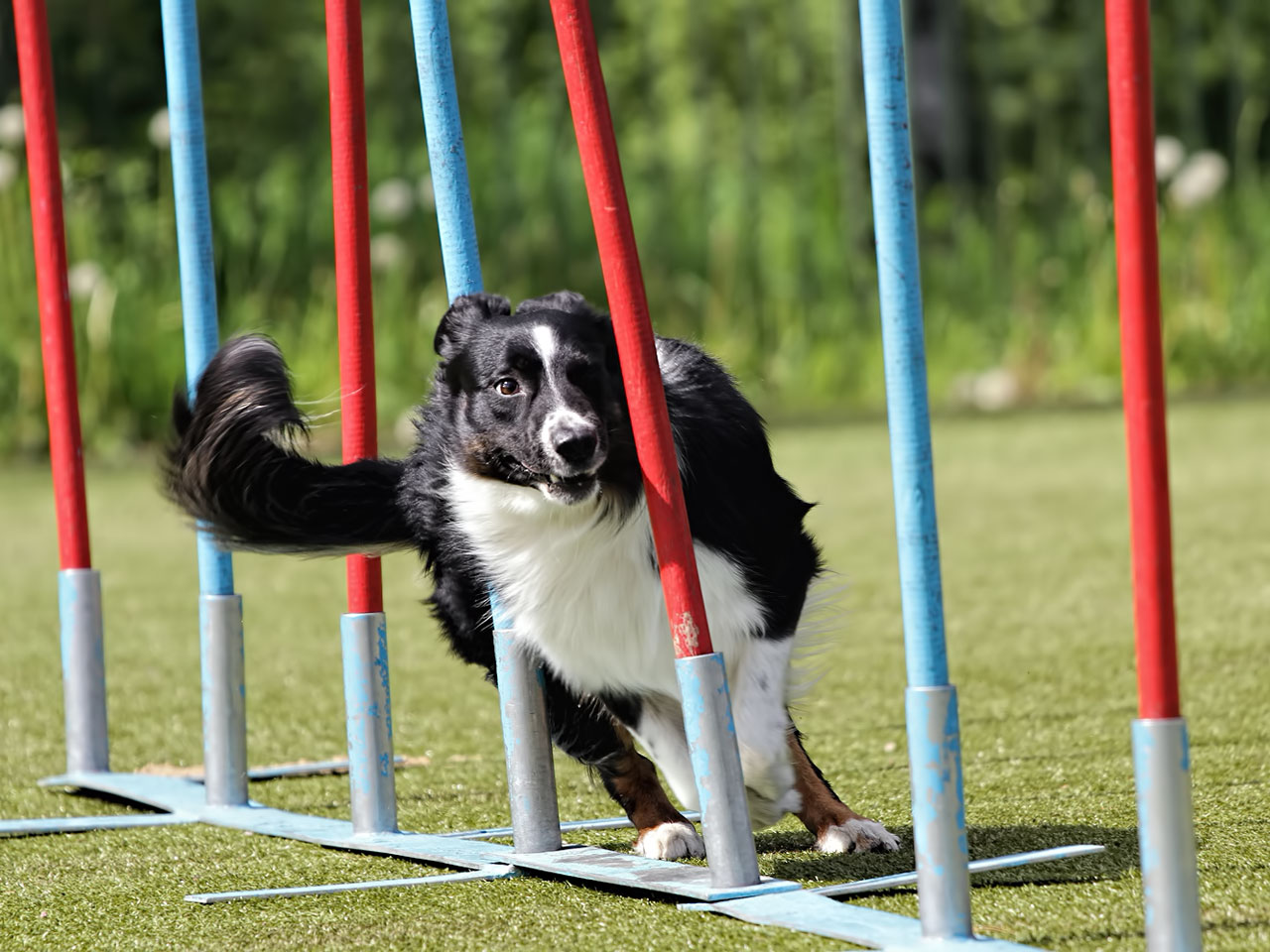 Border <a href='https://www.tieranzeigen.com/hunde/collie/' title='Rasseportrait: Collie' class='link_xl'>Collie</a> absolviert Agility Parcour