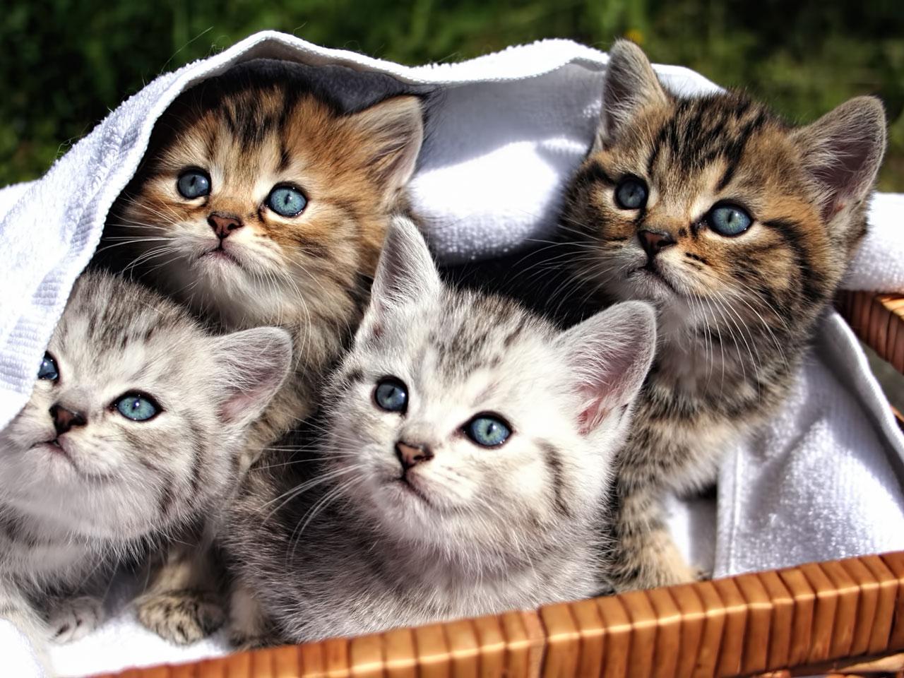 Süße Katzenbabys schauen neugierig aus Weidenkorb