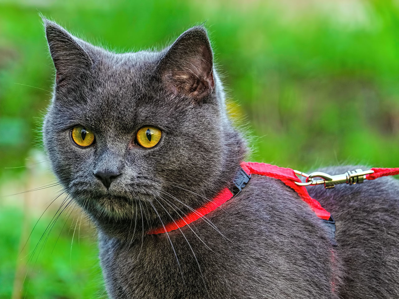 Graue Katze mit rotem Geschirr