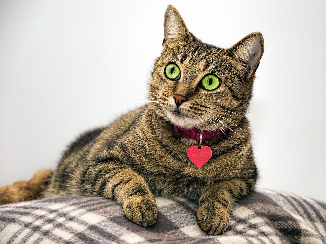 Getigerte Katze mit Katzenhalsband