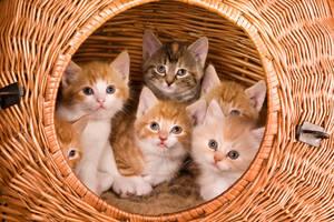 Kätzchen schauen aus Weidenkorb