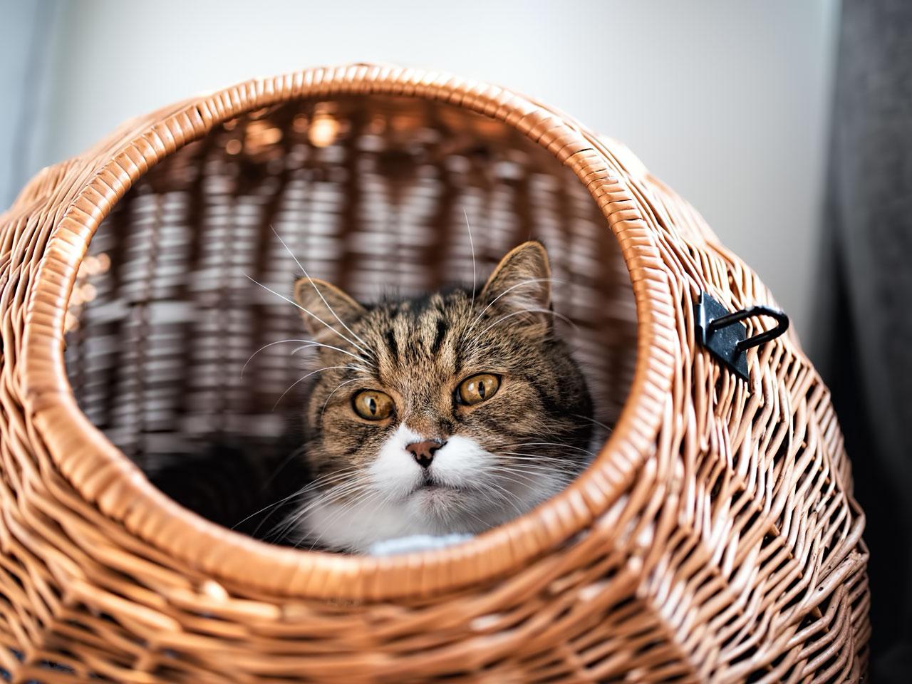 Katze schaut aus Weidenkorb