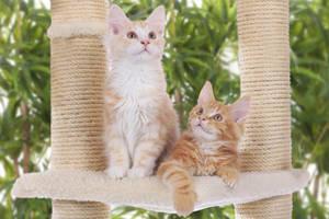 Katzen auf Kratzbaum