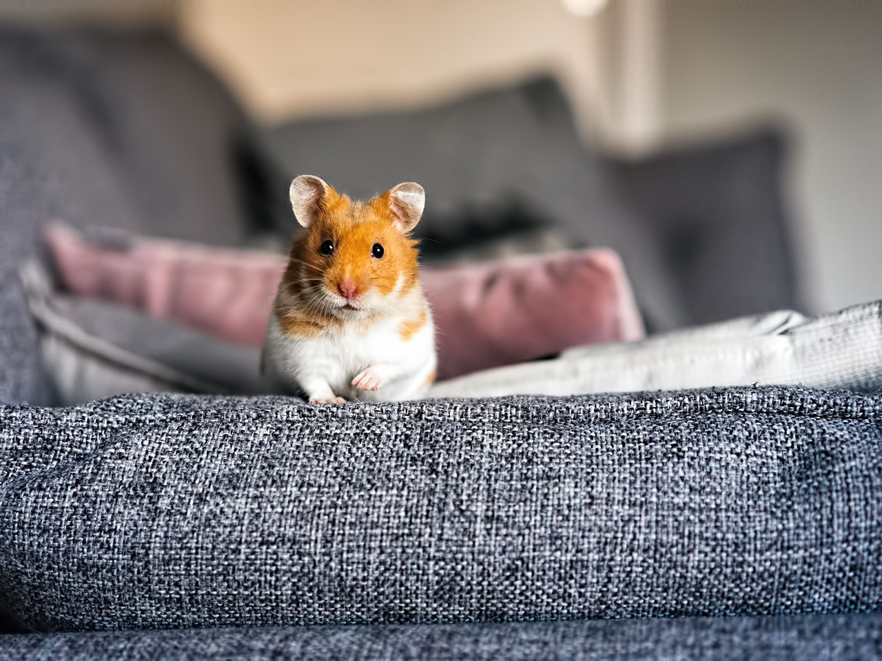 Neugieriger Hamster auf Erkundungstour