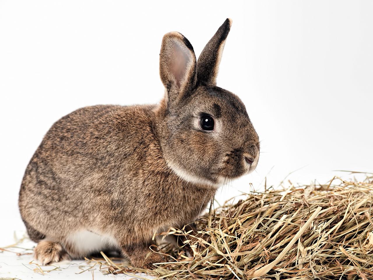 Kaninchen mit Heu