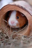Meerschweinchen in Holztunnel