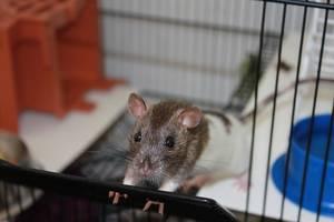 Ratte im Rattenkäfig