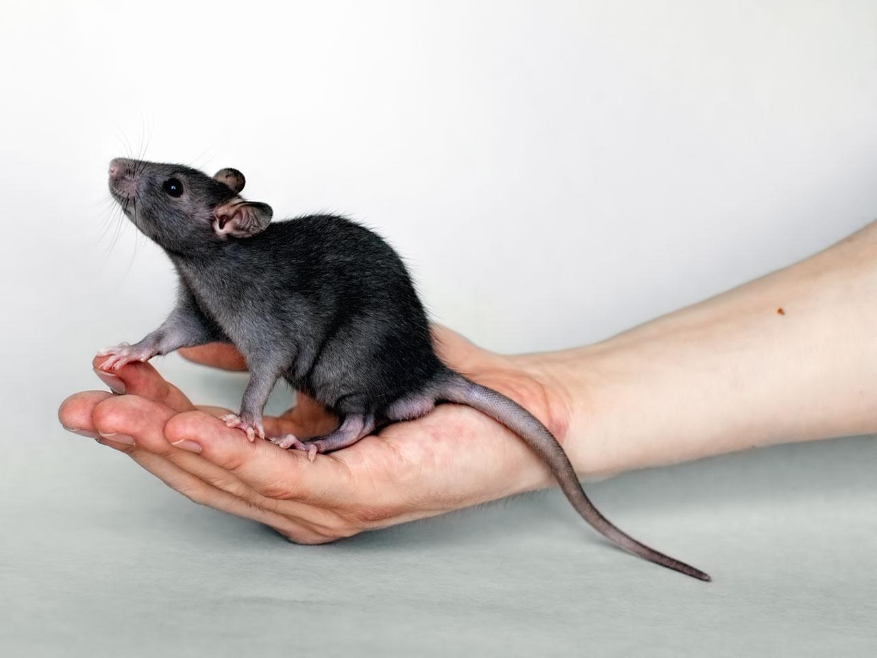 Rattenbörse: Haustier Ratte kaufen & verkaufen