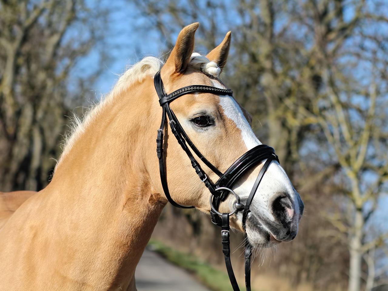 Pferde Halfter
