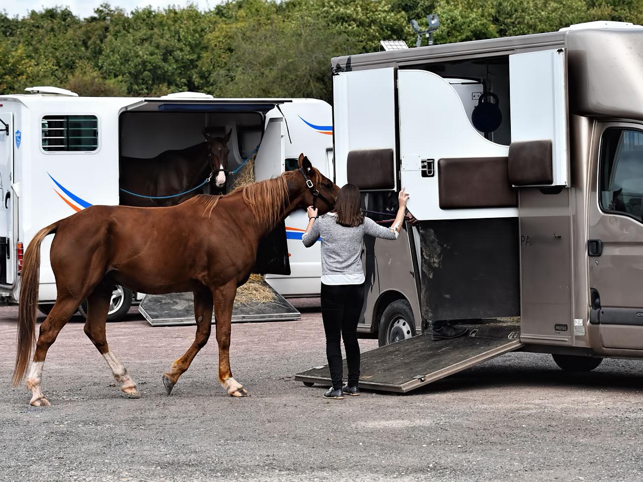 Pferd wird Pferdetransporter verladen