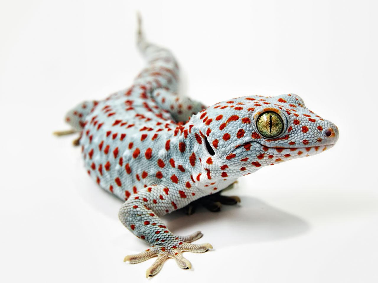 Tokeh oder Tokee (Gekko gecko)