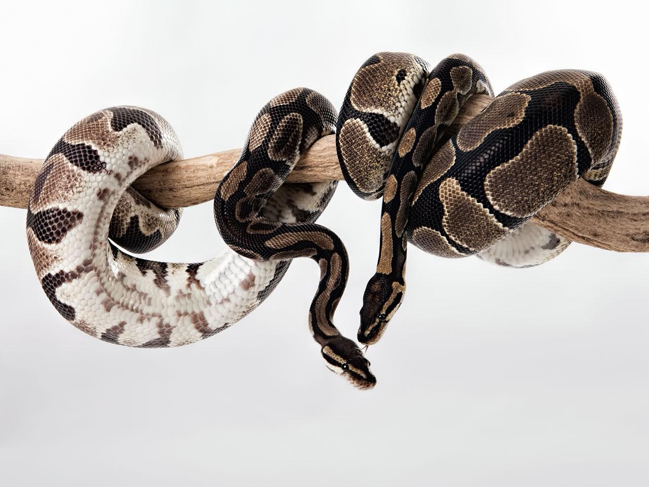 Königspythons (Python regius)