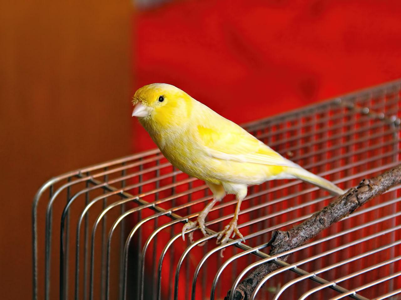 Kanarienvogel (Serinus canaria forma domestica)