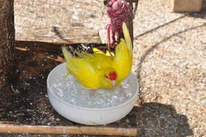 Vogel badet sich