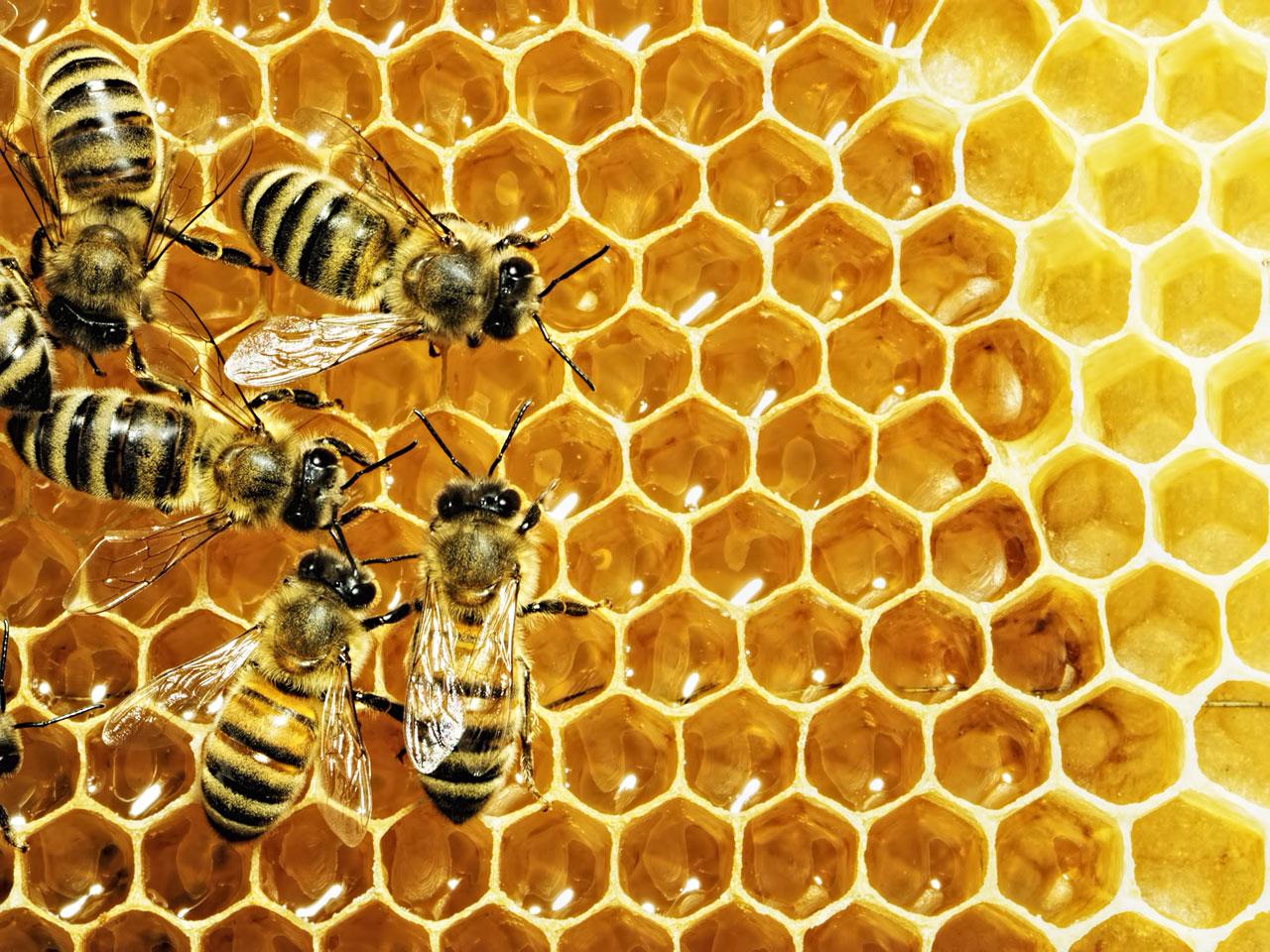 Honigbienen (Apis)