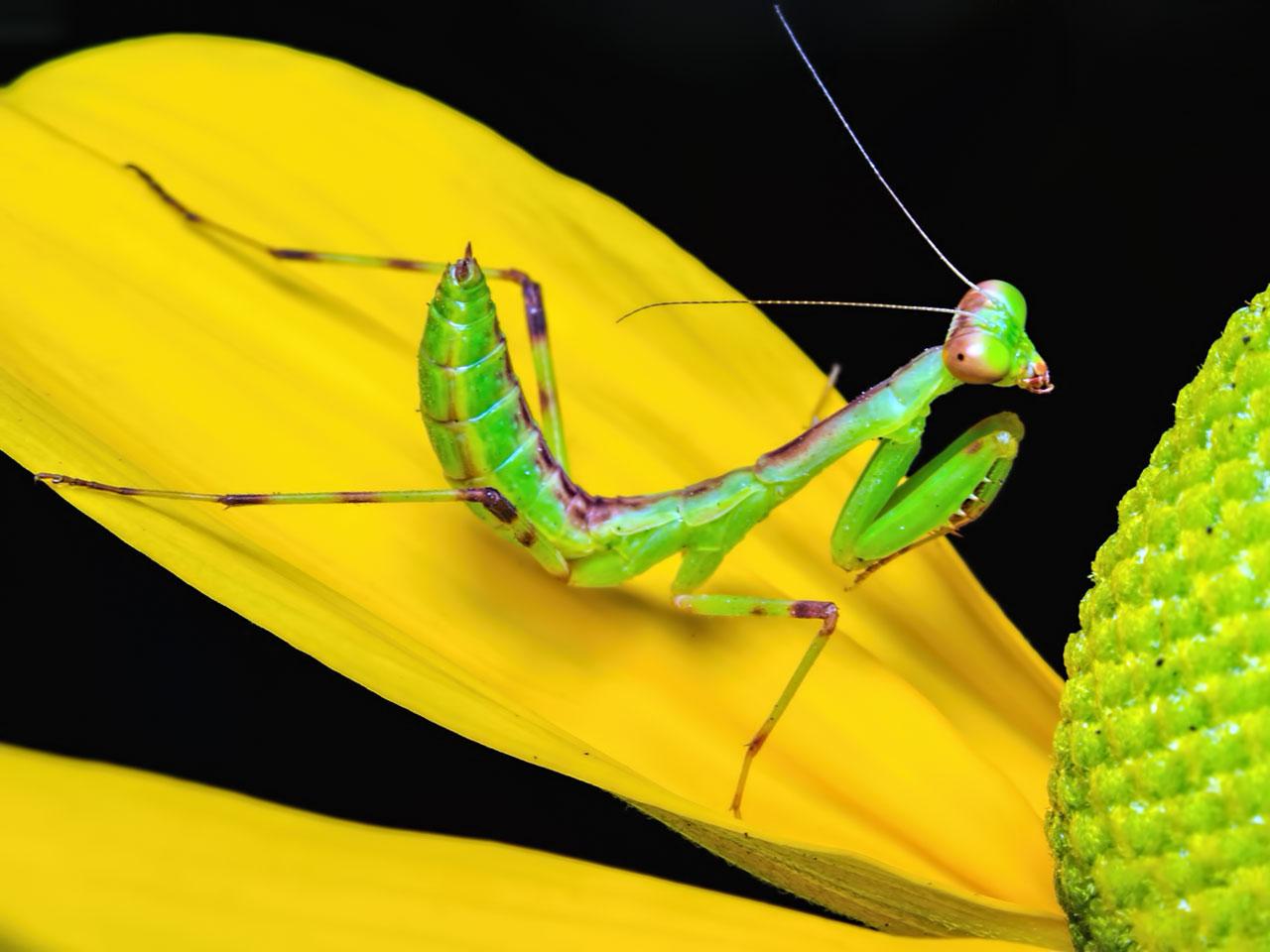 Gottesanbeterinnen (Mantodea)